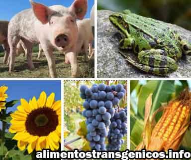 organismos transgenicos ejemplos