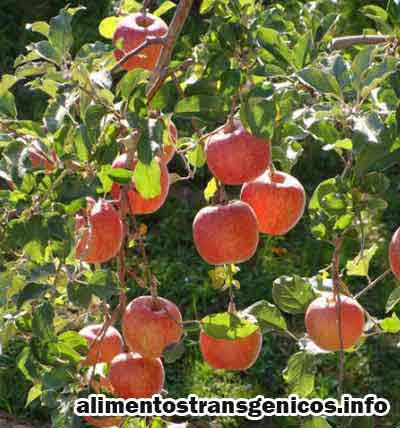 tipos de manzanas transgenicas