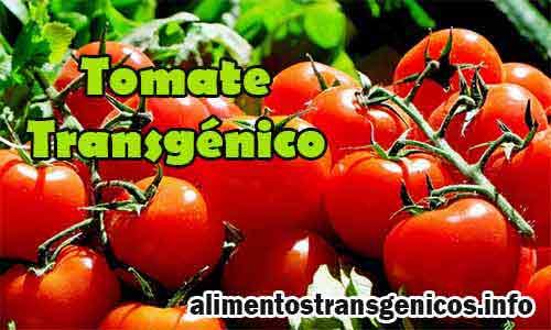 beneficios del tomate transgenico