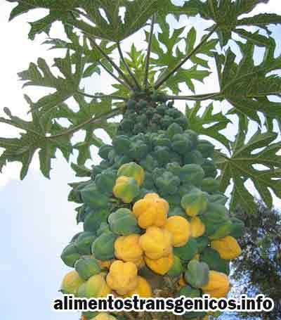 biotecnologia en la papaya