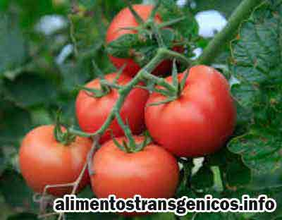 tomate transgenico consecuencias
