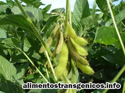 caracteristicas de la soja transgenica utilidad