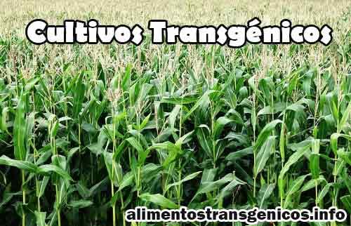 Cultivos Transgénicos Definición, Opiniones y Principales Cultivos Actuales