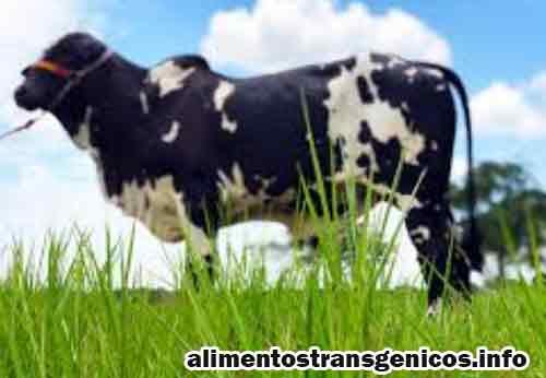 beneficios de la leche transgenica